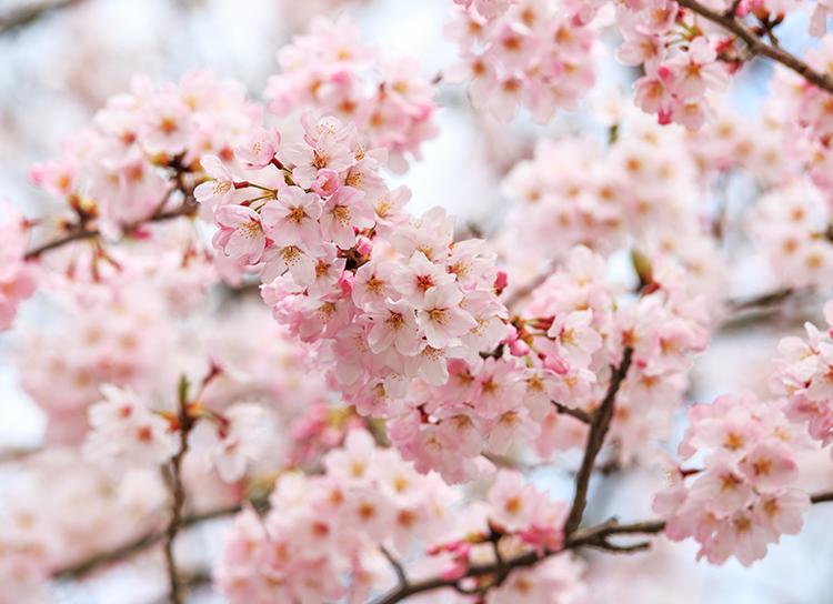 桜の香り&桜ピンク色は幸福を高めてくれる